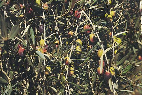 Picholine marocaine